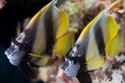 BD-131210-St-Johns-1080-Heniochus-intermedius.-Steindachner.-1893-[Red-sea-bannerfish].jpg